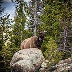 Elk along the Alberta Falls trail