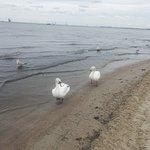 Playa y cisnes