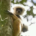 Lemur with a baby in Andasibe national park by Hasina Madagasitsara guide