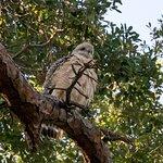 Slechtvalk of Peregrin Falcon