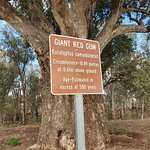 Giant Red Gum Tree照片