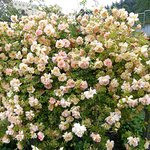 Verblühte Rosen