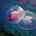 Red Sea Mauve Jellyfish - funny enough these don't sting