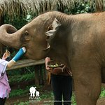 Letting the elephant get to know you. Hand feeding.