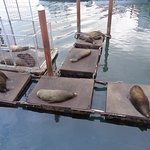 Sea Lions lounging below the dock.