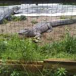 Some of the Alligators at the Crichlow Alligator Sanctuary