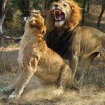 Big Five Game Drive - Lions