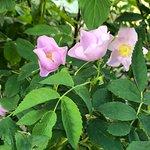 Wild roses abound.