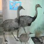 Greater Rhea from South America
