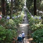 本殿に続く小道の両側に紫陽花
