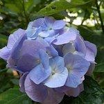 小道の両側に咲いていた紫陽花①