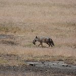 The jackal with the catch of the morning in Ngorongoro crater national park.