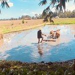Farmer ploughing for rice