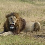 Lion in the Ngorongoro Conservation Area
