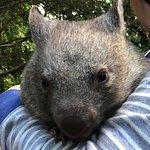 Wilbur the Baby Wombat at Koala Park