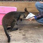 Kangaroo at Koala Park