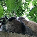 Walk amongst the Lemurs