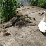 mother swan and babies!