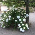 仁和寺敷地内にさく紫陽花