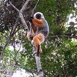Sifaka lemur (wild)