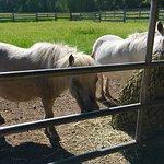 Cute miniature horses!