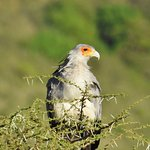 white eagle sitting in the top of a thorny acacia tree
