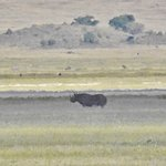 rhino in the distance (about 1/2 mile) - taken with a high powered telephoto zoom lens