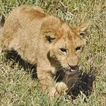 lion cub walking to its mother