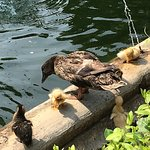 Baby ducks and parents!
