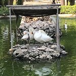 Swans on an island in the pond.