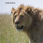 Male Lion near Nkuhlu, Kruger National Park
