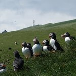 puffins with lighthouse in the back