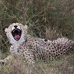 Cheetah cub yawning