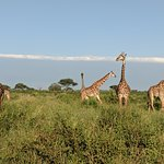 so many giraffes up close in Tarangire