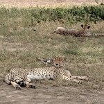 cheetahs chilling in Serengeti, they didn't care that multiple land cruisers surrounded them