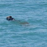 Sea Otter from Boat