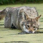 Ulveparken har alt hvad et ulvehjerte begærer. Inkl en lækker sø, som man kan soppe i.