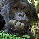 Chimpanzee at Gombe game Reserve in Lake Tanganyika.,