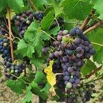 Winogrona, które można skosztować