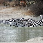 Zebras with a mid-day drink