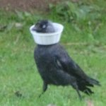 Jackdaw with a McFlurry collar!