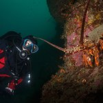 Numerous large crayfish (NZ rock lobsters) can be seen on all of the dives. Grant Thomas photography