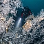 Black coral trees (white in appearance) can reach up to 5 meters in height. Grant Thomas photography