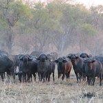 Part of herd of 1000 buffalo