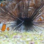 Sea urchin and clown fish