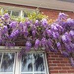 La glycine est fleurie en mai devant notre façade comme chaque année, ils sont beau n'est-ce pas?