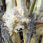 new cemetery - tree growing through fence