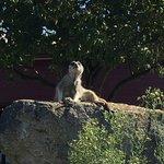Meerkat on watch duty