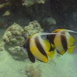 Red Sea Bannerfish