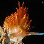 Nudibranco fotografato in costa a Monte Argentario.